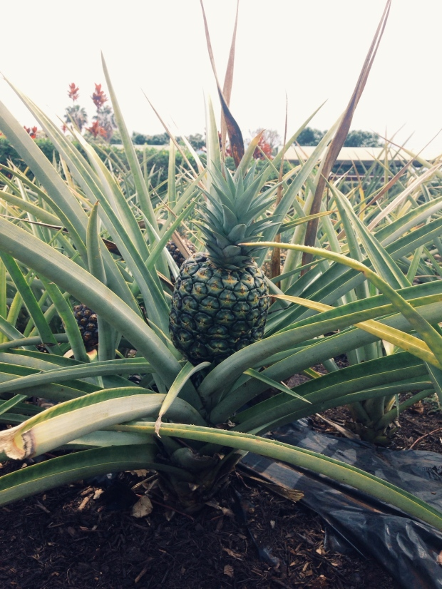 Dole Plantation Five